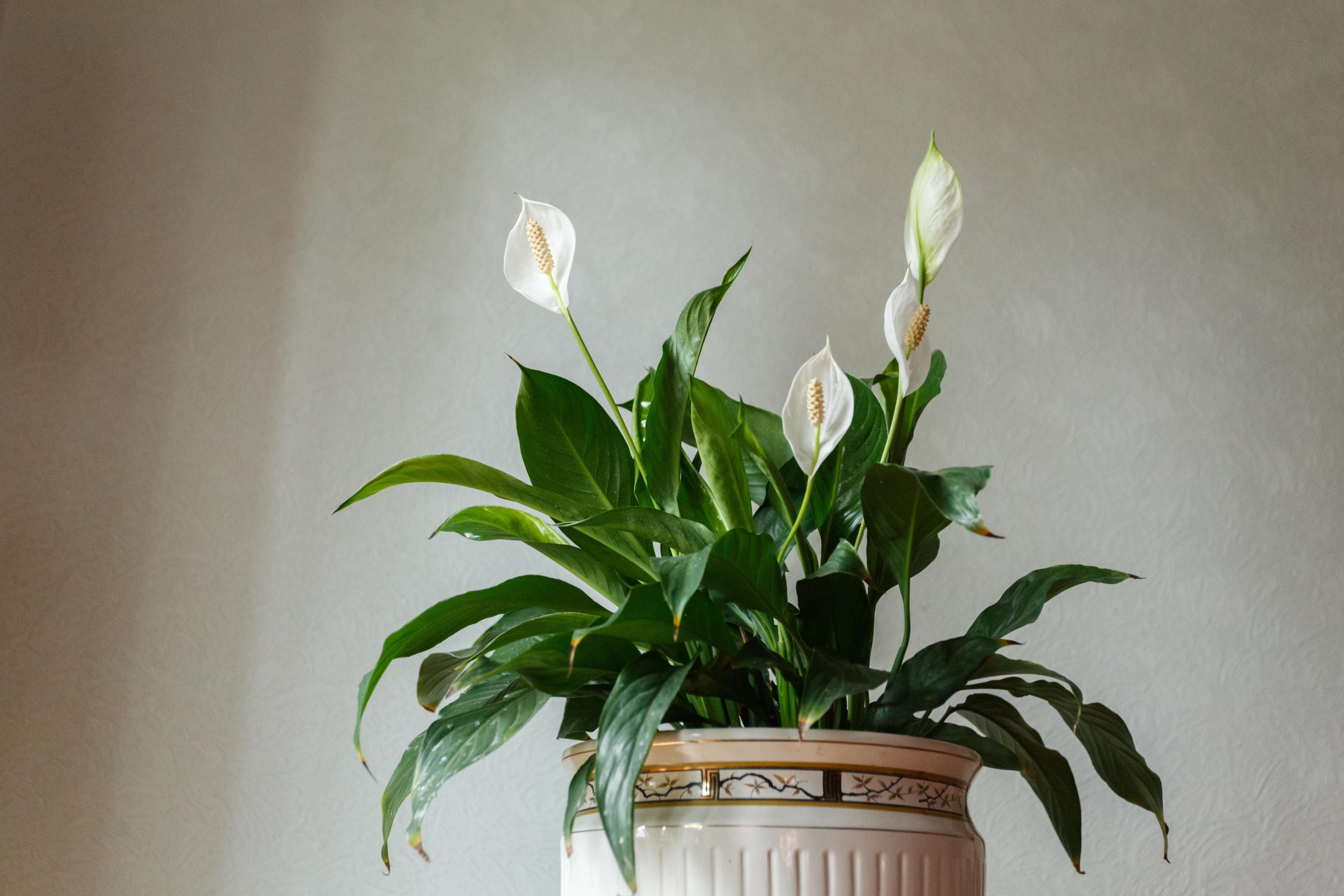 spathiphyllum growers Sorrento