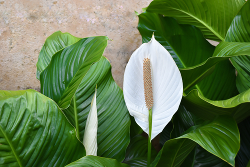 spathiphyllum grower Apopka Fl