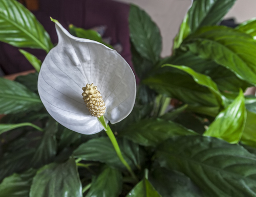 Spathiphyllum grower