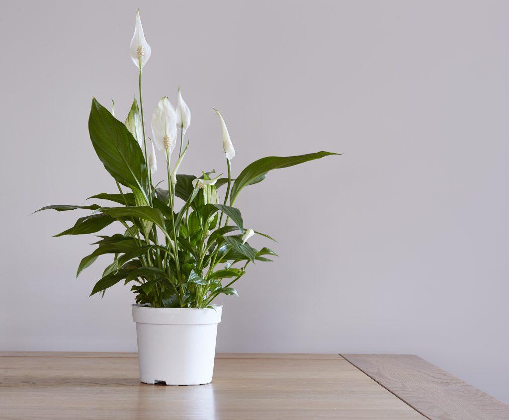 Spathiphyllum Atlanta GA