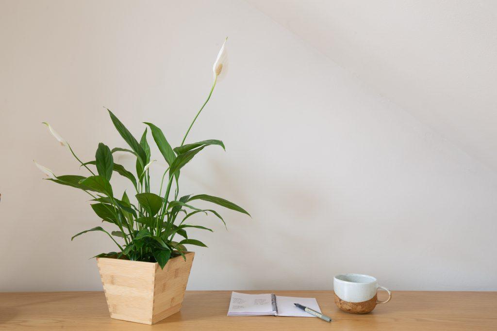 Spathiphyllum Sorrento FL